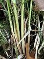 Carex alba 68346781.jpg