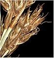 Carex appropinquata inflorescens (08).jpg