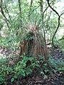 Carex paniculata plant 06).jpg