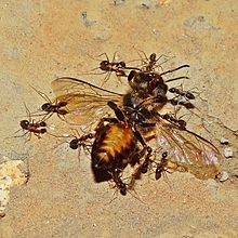 [Image: 220px-Carpenter_ants_carrying_a_dead_bee.jpg]