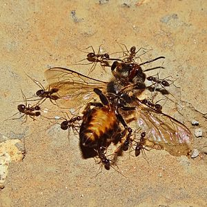 Carpenter ant - Carpenter ants carrying a dead bee