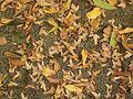 Carpinus betulus 07 ies.jpg