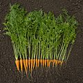Carrot harvest.jpg