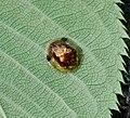 Cassida versicolor semonjingasahms02.jpg