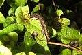 Caterpillar 3 (BG) (13284099884).jpg