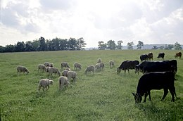 Cattle and sheep.jpg
