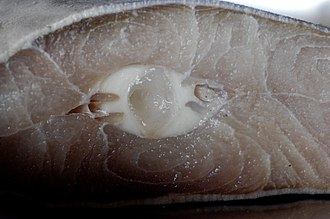 Shark meat - A cross-section of shark meat