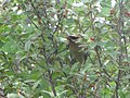 Cedar Waxwing with a red berry in it's mouth.jpg