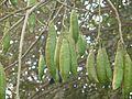 Ceiba pentandra (2287675871).jpg