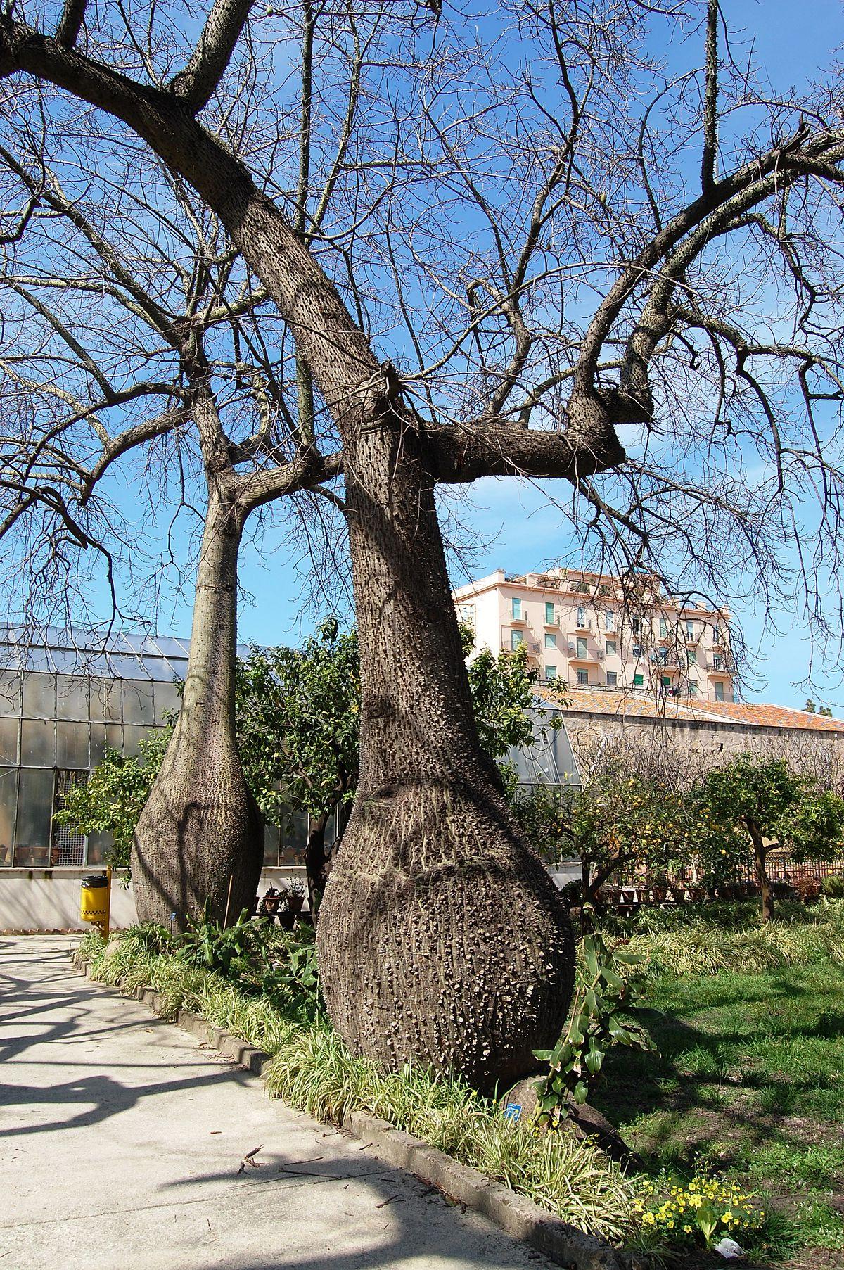 florettseidenbaum – wikipedia