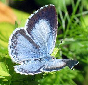Blue Buckthorn (Celastrina argiolus) ♀