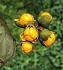 Celastrus paniculatus 03.JPG