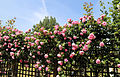Cemetery pink rose trellis at Theydon Bois, Essex, England 01.JPG