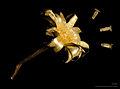 Centaurea montana MHNT.BOT.2009.17.20.jpg