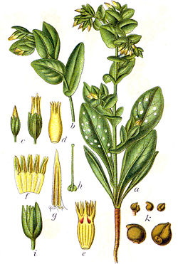 Cerinthe minor Sturm11.jpg