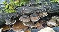 Cerioporus mollis 97556793.jpg