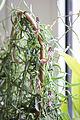 Ceropegia linearis subsp. woodii (22693619471).jpg