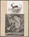 Cervus dama - 1700-1880 - Print - Iconographia Zoologica - Special Collections University of Amsterdam - UBA01 IZ21500158.tif