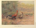 Ceylon Junglefowl by George Edward Lodge.png