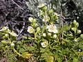 Chamaebatiaria millefolium (4345609796).jpg