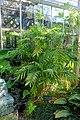 Chamaedorea microspadix - Marie Selby Botanical Gardens - Sarasota, Florida - DSC01105.jpg