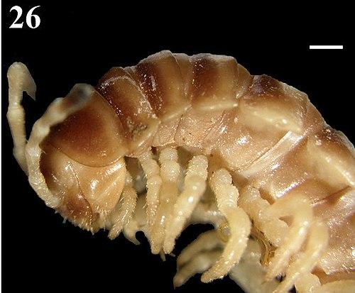 500px chamberlinius sublaevus anterior