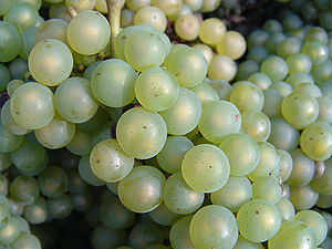 Close up image of Chardonnay grapes