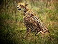 Cheeta - Flickr - gailhampshire.jpg
