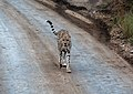 Cheetah - on early morning stroll after eating (48538481821).jpg