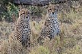 Cheetah Cubs waiting for Mom (28194267661).jpg