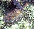 Chelonia mydas (green sea turtle) (San Salvador Island, Bahamas) 3 (15561506174).jpg