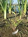 Chenopodium glaucum sl38.jpg