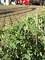 Chenopodium vulvaria sl4.jpg