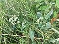 Chenopodium vulvaria sl70.jpg