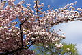 Cherry tree in bloom @ Garden @ Champs Elysée @ Paris (26365985362).jpg