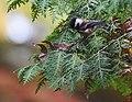 Chestnut-backed Chickadee (43847840890).jpg