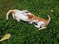 Chiang Mai kitties - 2017-07-09 (002).jpg