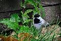 Chickadee (22035463438).jpg