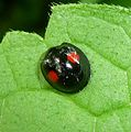 Chilocorus renipustulatus, the Kidney-spot Ladybird. Coccinellidae. - Flickr - gailhampshire (3).jpg