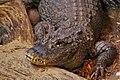 Chinese Alligator DZS.jpg