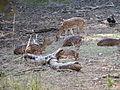 Chital Deer (Ranthambore).jpg