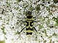 Chlorophorus varius .13.jpg