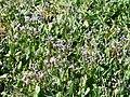Chorispora tenella 1.jpg