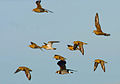 Chorlitejos dorados en vuelo 02 - Pluvialis apricaria - Golden plover - Daurada grossa.jpg
