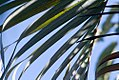 Chrysalidocarpus lutescens 6zz.jpg