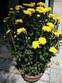 Chrysanthemum morifolium (4).JPG