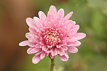 Chrysanthemum - Wikipedia