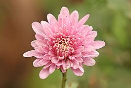 Chrysanthemum wall decal