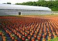 Chrysanthemums in a plant nursery.jpg
