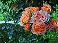 Churchyard Roses - geograph.org.uk - 517123.jpg